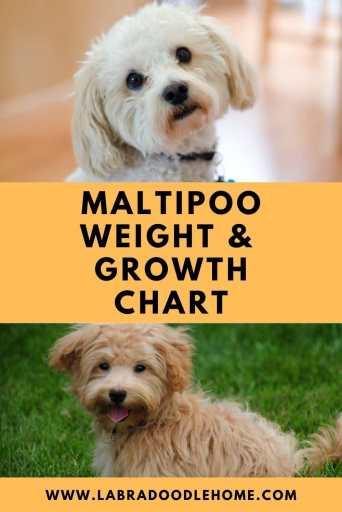 maltipoo weight chart Maltipoo growth chart Maltipoo puppy weight chart