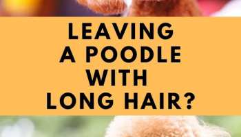 Unshaved Poodle, Poodle With Long Hair, What Does A Poodle Look Like Without A Haircut
