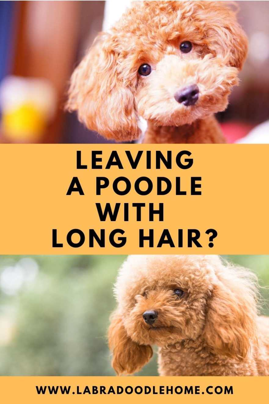 Can You Leave A Poodle With Long Hair? All You Need To Know
