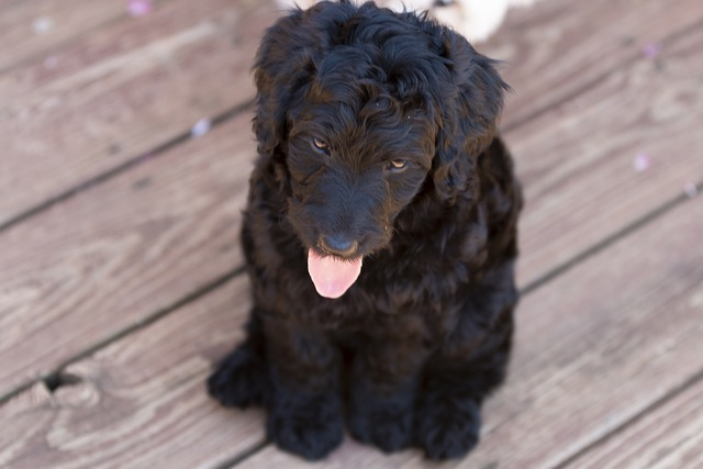 Labradoodle puppies In the midwest