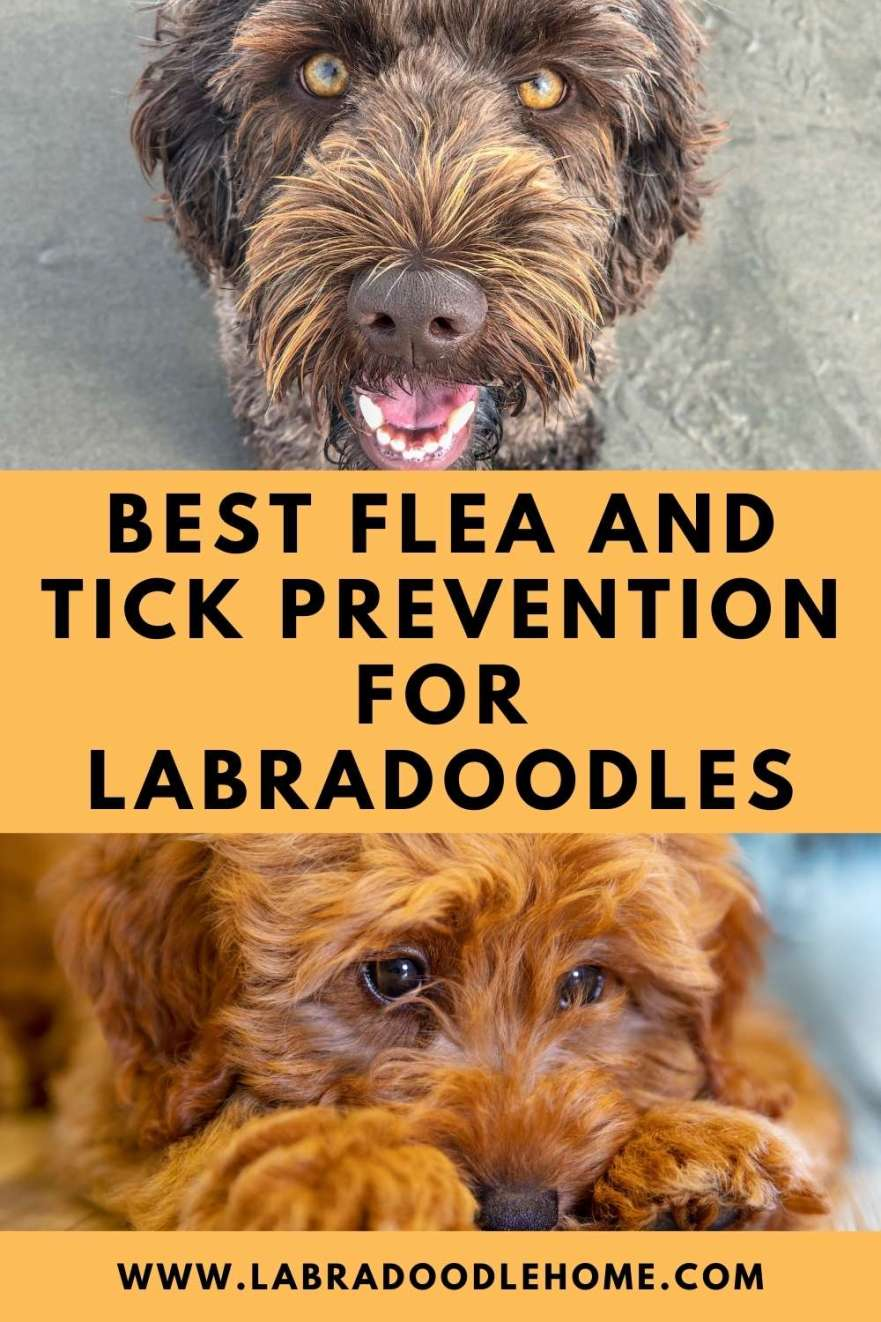 Best Flea And Tick Prevention for Labradoodles