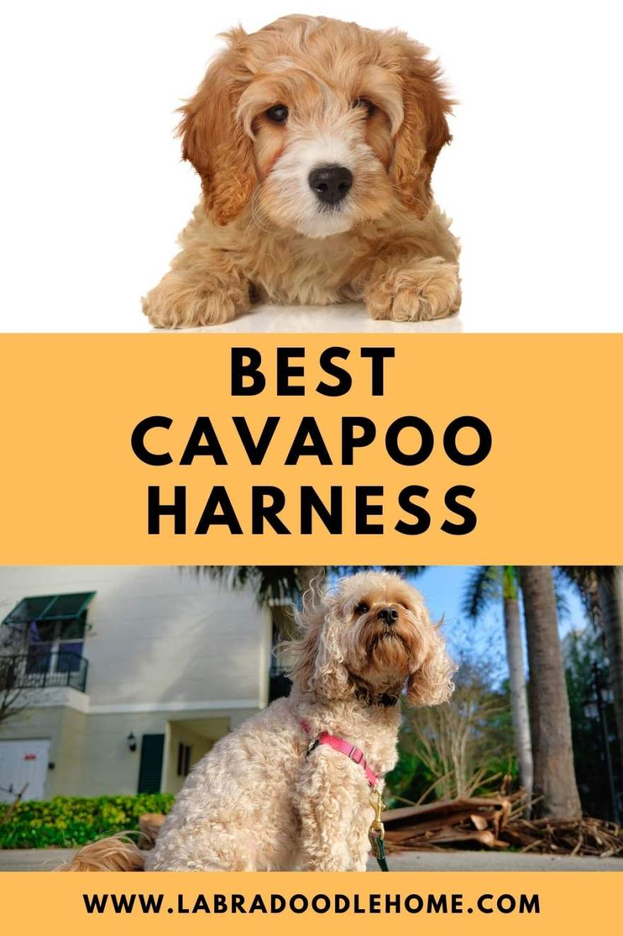 best cavapoo harness