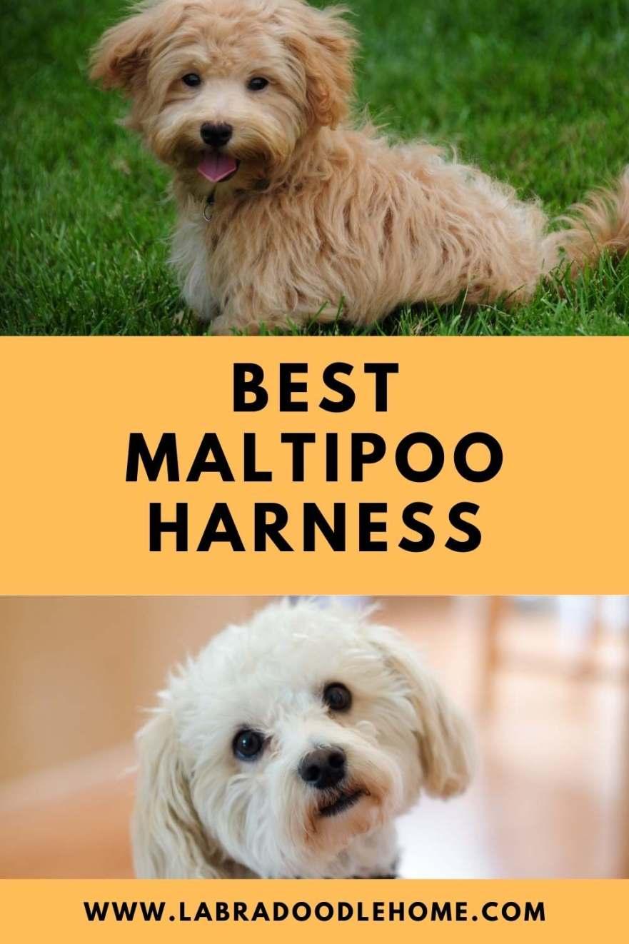 best maltipoo harness