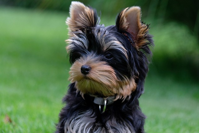 Why do Yorkies Pee in the House How to Stop a Yorkie from Peeing In the House
