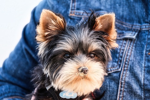 How to Stop a Yorkie from Peeing In the House