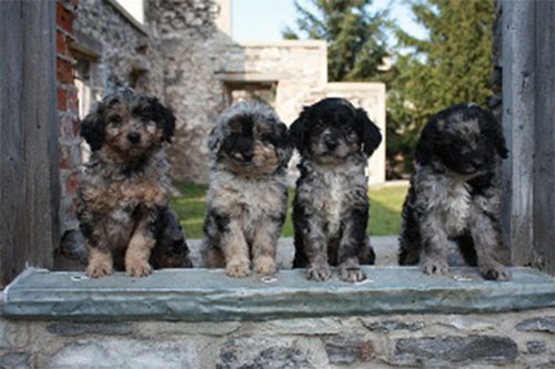 Labradoodle Images and Photos  Labradoodles  Dogs