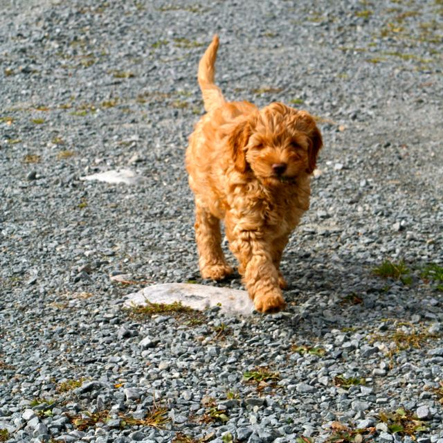 Upcoming Litters – Labradoodles By Design