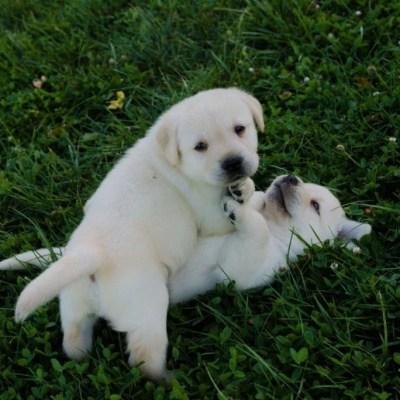 cucciolo che giocano labrador