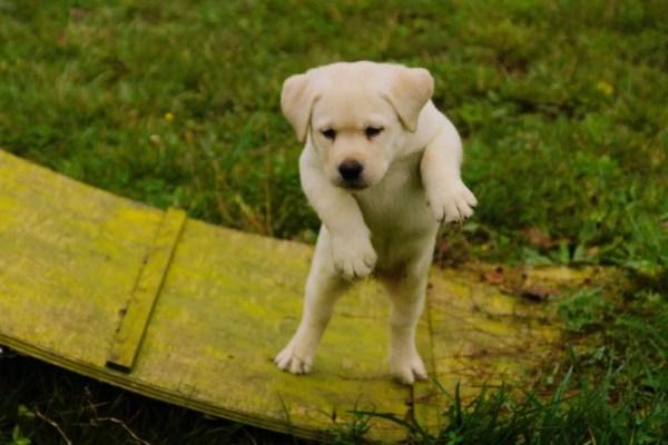 cucciola di labrador biondo