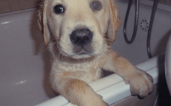 yellow-labrador-retriever-puppy-sitting-in-bath-tub
