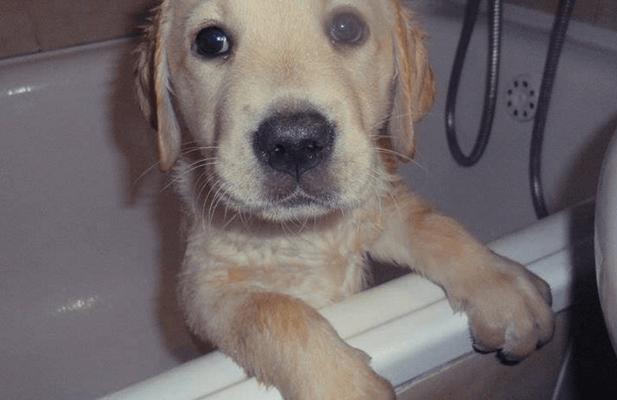 yellow-labrador-retriever-puppy-sitting-in-bath-tub