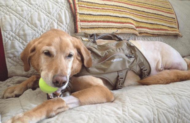 labrador-retriever-suffering-with-cancer