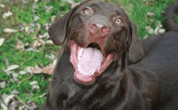 brown-labrador-retriever-happy-face