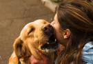yellow-labrador-retriever-rubbing-faces-with-woman