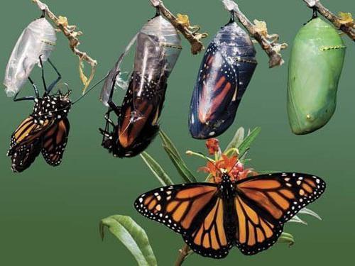 Развитие бабочек с превращением