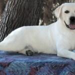 White Labstolove White Lab Pups Snow White Akc Labrador Puppies Akc Yellow Lab Puppy For Sale Yellow English Lab Pups Blonde Labrador Puppies Lab Puppy
