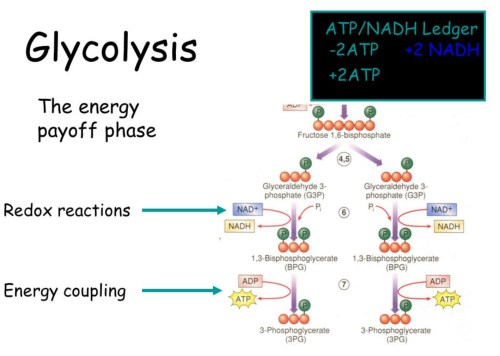 small resolution of image 1 the cellular respiration showing glycolysis in a diagram presentation picture source i stack imgur com