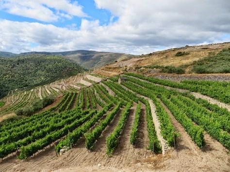 Godello-valle-del-bibei-viñedos-valdeorras