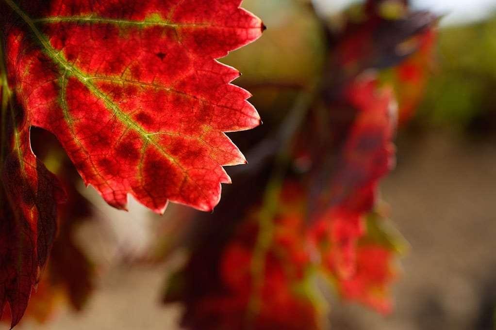 Detalle de hojas de vi–a con colores de oto–o DO la Rioja