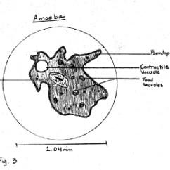 Amoeba Cell Diagram 1979 Ct90 Wiring Sample Descriptive Lab Report