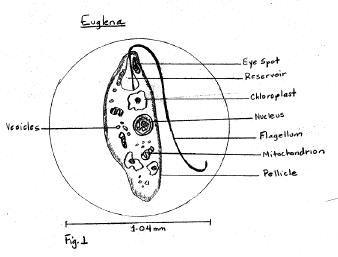euglena cell diagram with labels 2006 dodge ram 1500 factory radio wiring sample descriptive lab report all protists had animal like characteristics in terms of their movements and feeding patterns the three was only one that chloroplasts