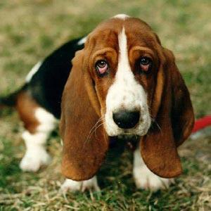 Uno de los perros de la raza Basset Hound murió de desnutrición (Foto de archivo).