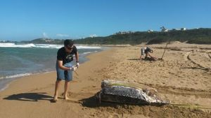 Vista de la hembra tinglar encontrada muerta en una playa de Isabela (Suministrada DRNA).