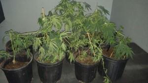 Marihuana ocupada en el sector La Bajura de Cabo Rojo (Suministrada Policía).