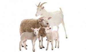 cabras y ovejas 2