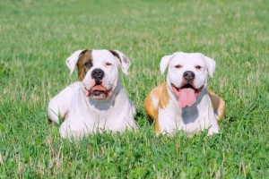 Perros de la raza American Bulldog (Archivo).