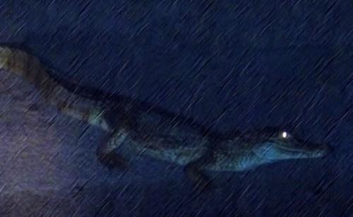 El caimán, parecido a este, fue visto esta madrugada en Guanajibo Homes (Archivo).
