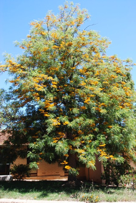 Our blog's Grevillea tree