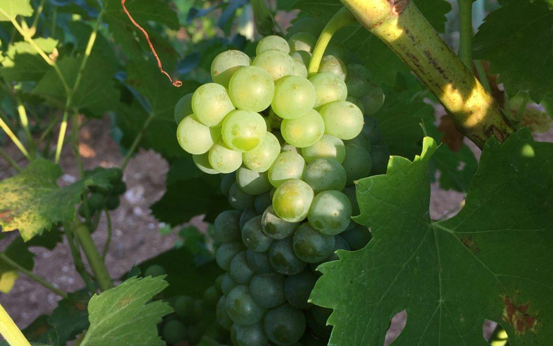 El viñedo madura correctamente para la vendimia 2020