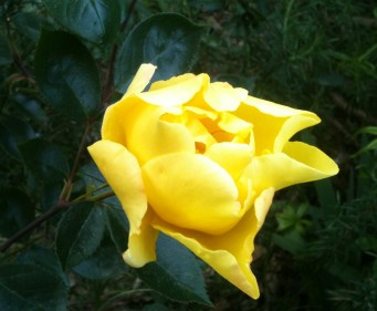 rosa gialla la prima apr 13 02