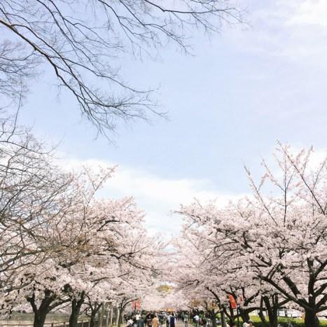 petite fashion blog, lace and locks, los angeles fashion blogger, japan travel diary, tokyo fashion blogger, sakura trees in japan, osaka castle