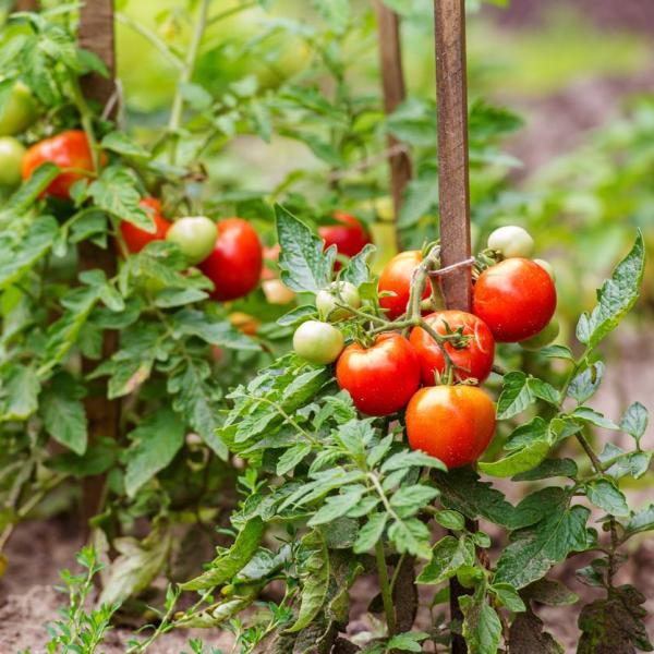 cultivo de Jitomate SNE Morelos