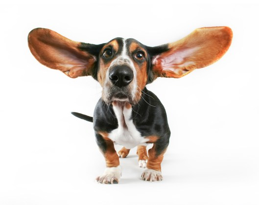 a basset hound with his ears flying away