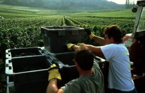 Les résultats provisoires de la vendanges 2017 en Champagne