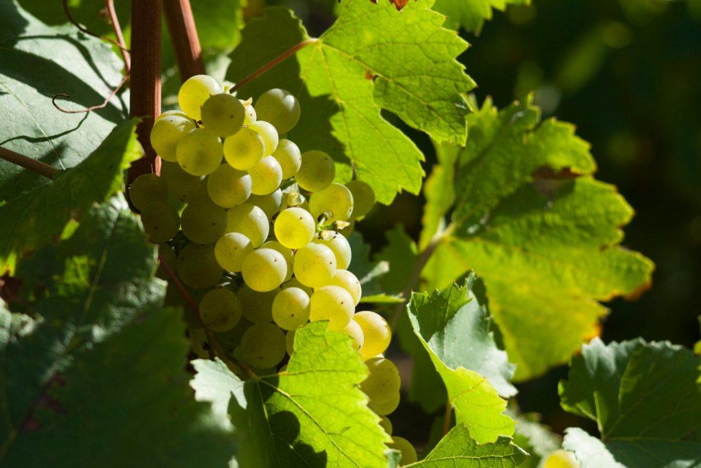 Encore des hausses constatées cette année sur le prix du kilo de raisin.