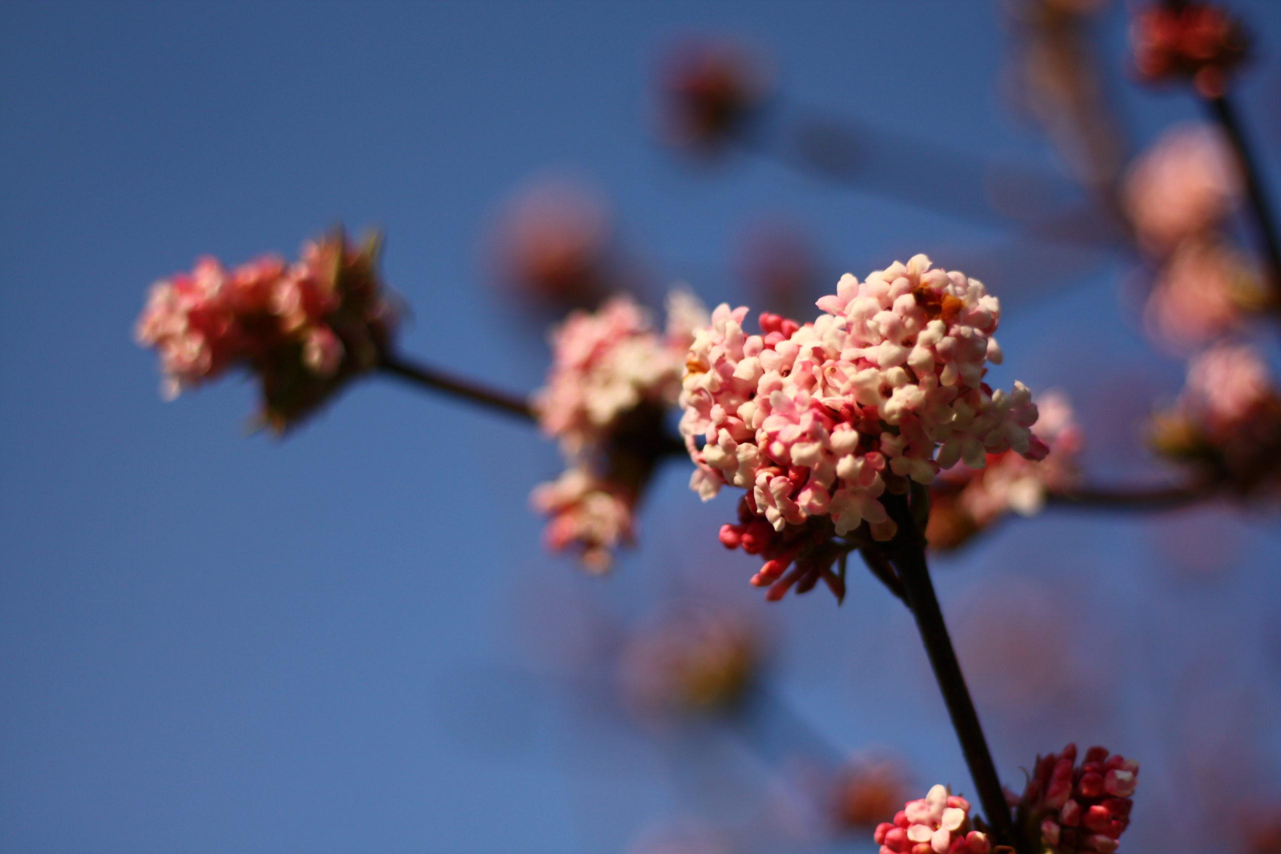 Duftschneeball - Viburnum x bodnantense 'Dawn'.