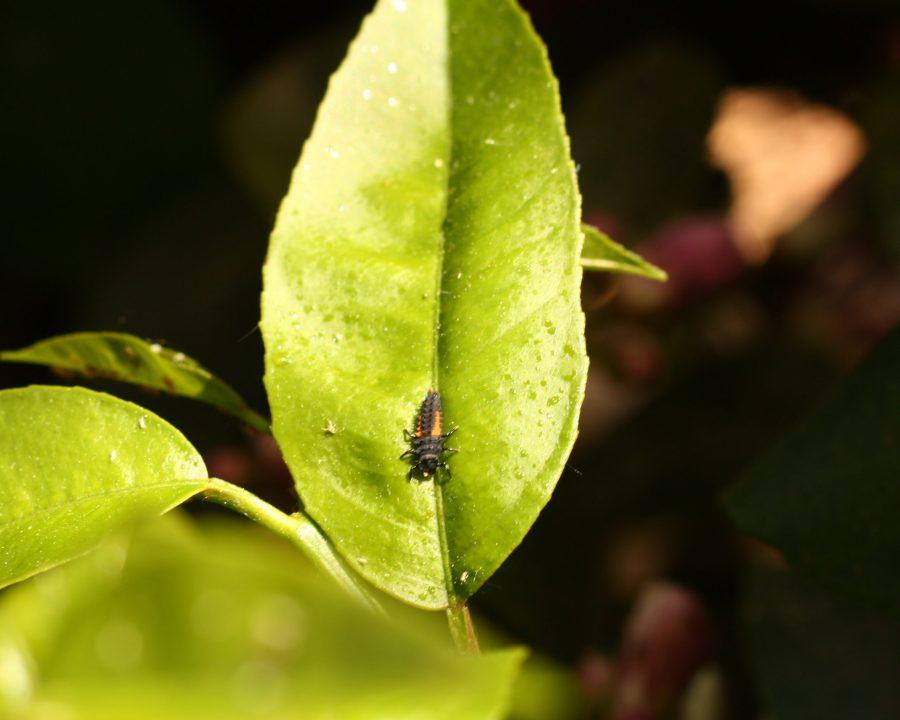 Natürliche Schädlingsbekämpfung durch Marienkäfer: Marienkäferlarve