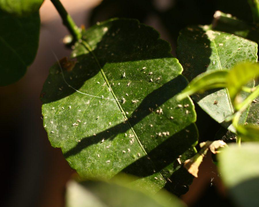 Natürliche Schädlingsbekämpfung durch Marienkäfer: tote Blattläuse