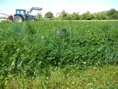 On aperçoit  peine le haut de la botte. La hauteur de l'herbe est à peu près de 30 cm. Trop haut pour du pâturage classique. Mais avec le fauche broute, ça passe.