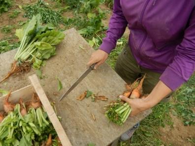 Nous coupons les feuilles. Ainsi, une fois repiqué, le plant consacre son énergie pour développer ses radicelles.