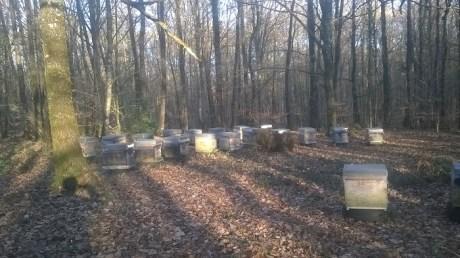 En traversant le bois des Gravelles, j'ai croisé dans les clairières plusieurs colonies de ruches comme celle-ci.