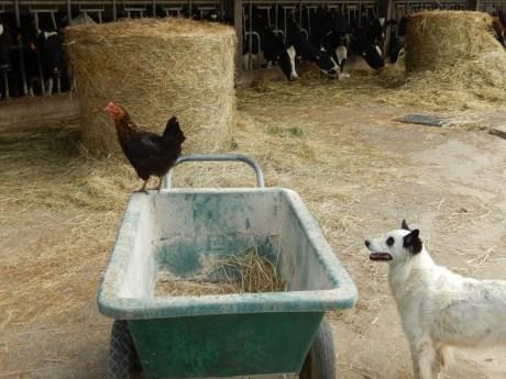 poule et kiki
