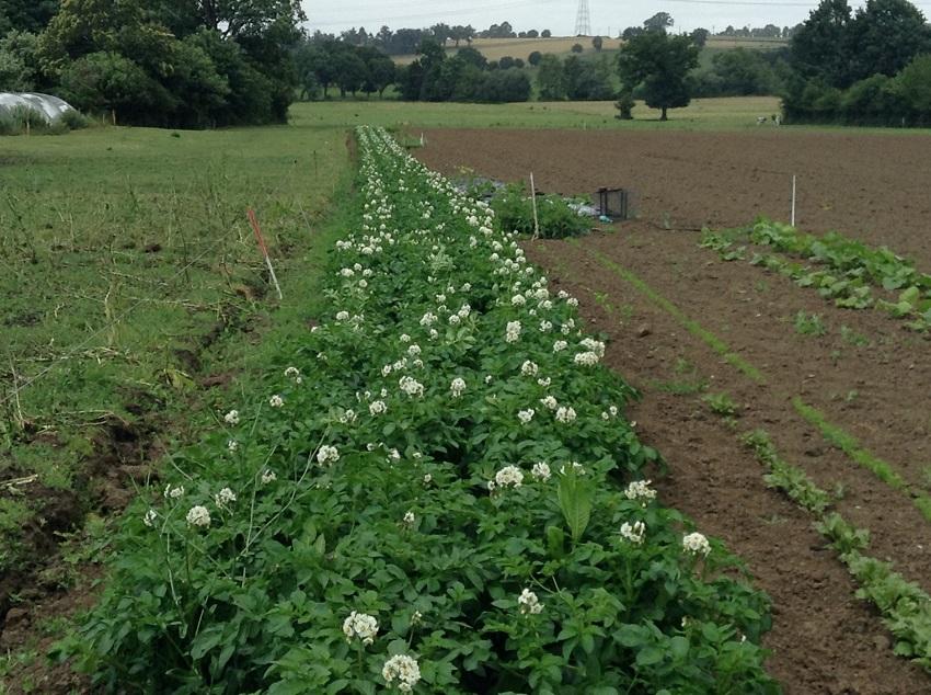 champ de patates en fleur