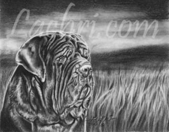 Neapolitan Mastiff graphite (pencil) portrait