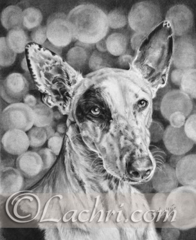 Ibizan hound graphite (pencil) drawing