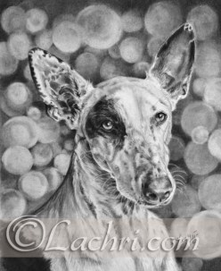 Ibizan hound graphite (pencil) drawing